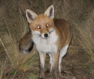 The European red fox (Vulpes vulpes) preys on many species of threatened Australian animals