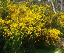 Scotch Broom (Cytisus scoparius subsp. scoparius)