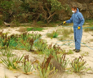 Sea spurge eradication. Ranger spraying invasive beach weed