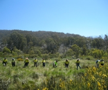 Orange hawkweed eradication program NPWS is running with its partners in action