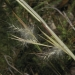 Whisky grass (Andropogon virginicus)