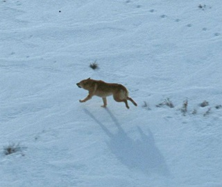 Wild dog in snow, Kosciuszko National Park