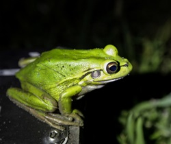 Green and golden bell frog (Litoria aurea) also named the green bell frog, green and golden swamp frog and green frog
