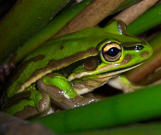 Green and golden bell frog (Litoria aurea)