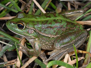 Southern bell frog (Litoria raniformis) also known as Growling Grass Frog, Green and Golden Frog, Warty Swamp Frog, and erroneously as the green frog