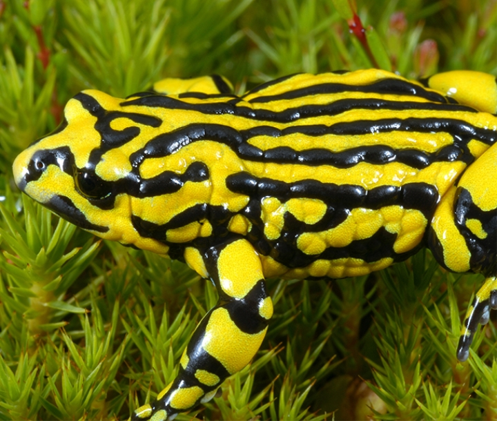 Southern corroboree frog (Pseudophryne corroboree) has bright yellow longitudinal stripes alternating with black stripes on its back.