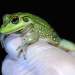 Yellow-spotted tree frog (Litoria castanea)