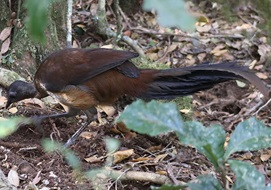 Albert's lyrebird (Menura alberti)