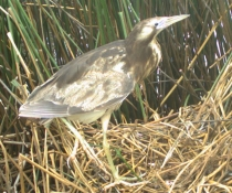 Australasian bittern (Botaurus poiciloptilus), also known as bunyip bird on its nest in Barmah-Millewa Wetlands