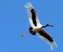 Black-necked stork (Ehippiorhynchus asiaticus) in flight, Gwydir Watercourse