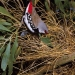 Diamond firetail (Stagonopleura guttata) is a species of finch and classified vulnerable in NSW