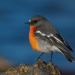 The flame robin (Petroica phoenicea) is a vulnerable species in NSW