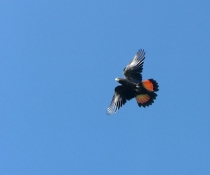 Glossy black-cockatoo (Calyptorhynchus lathami) in flight