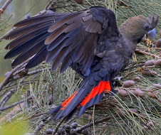 Glossy black-cockatoo (Calyptorhynchus lathami) male wing spread