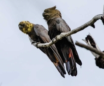 A pair of Glossy black-cockatoos (Calyptorhynchus lathami) sit on a tree branch at Captain Cook's Lookout in Hat Head National Park.