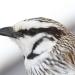 Grey grasswren (Amytornis barbatus barbatus)