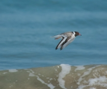 The hooded plover (Thinornis rubricollis) is critically endangered and endemic to southern Australia and Tasmania where it inhabits ocean beaches and sub-coastal lagoons