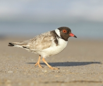 Hooded plover or hooded dotterel (Thinornis rubricollis), Tura Beach