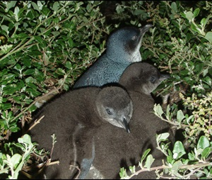 Little penguin (Eudyptula minor), chicks with adult