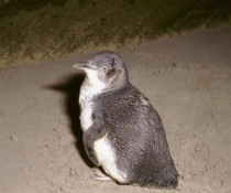 Little penguin (Eudyptula minor) endangered species also known as the blue penguin and previously known as fairy penguin