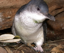 Little penguin (Eudyptula minor) female at nest