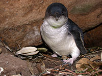Female little penguin (Eudyptula minor) at her nest