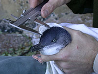 Measuring head circumference as part of the little penguin (Eudyptula minor) monitoring program