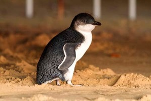 Little penguin (Eudyptula minor) on the sand near Manly Wharf