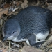 Little penguins (Eudyptula minor), nesting box