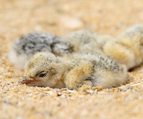 Little tern chicks (Sternula albifrons)