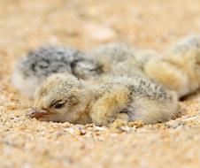Little tern chicks (Sternula albifrons)
