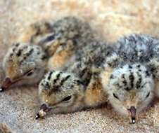 Little tern (Sternula albifrons) chicks