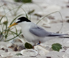 Little tern (Sterna albifrons) with chicks