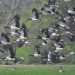 Breeding magpie geese (Anseranas semipalmata) in flight, Gingham watercourse