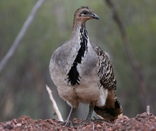 Malleefowl (Leipoa ocellata), an iconic threatened species, in the Nymagee area of NSW