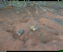 Two malleefowl (Leipoa ocellata) at a nest site