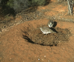 The malleefowl and the fox
