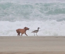 Off-leash dog chases beach stone-curlew (Esacus magnirostris), Byron Shire