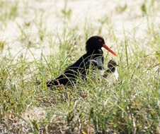 For the first time in a decade, a pied oystercatcher (Haematopus longirostris) has been born at Congo, within Eurobodalla National Park much to the delight of volunteers and campers