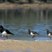 Three pied oystercatchers (Haematopus longirostris) on the shore of a river