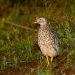 The plains-wanderer (Pedionomus torquatus) is now an iconic threatened species in NSW