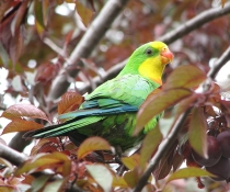 Superb parrot (Polytelis swainsonii) male bird also known as Barraband's parrot, Barraband's parakeet, or green leek parrot, is a parrot native to south-eastern Australia