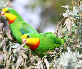 Community-based monitoring for the superb parrot: the benefits of citizen science
