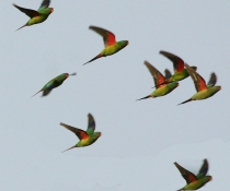 Swift parrot (Lathamus discolor) flock in flight