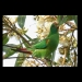 Swift parrots (Lathamus discolor) feed on swamp mahogany