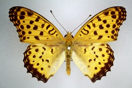Male Australian Fritillary butterfly (Argynnis hyperbius inconstans) showing brown and yellow markings