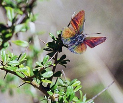 Purple copper butterfly (Paralucia spinifera) on Bursaria