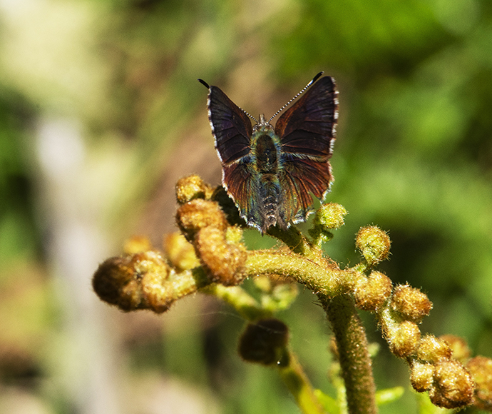 Paralucia spinifera (Purple Copper Butterfly, Bathurst Copper Butterfly)