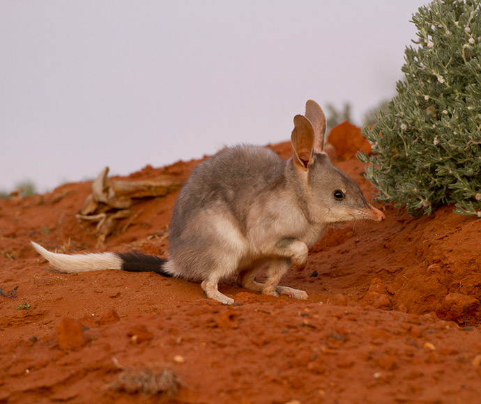 The bilby (Macrotis lagotis) is presumed extinct in NSW