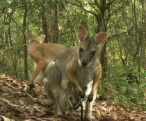 Family of black striped wallabies (Macropus dorsalis) with joey in pouch, Richmond Range